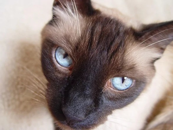 siamese-cat-1370974