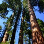 sequoia-national-parks-sequoia-trees1