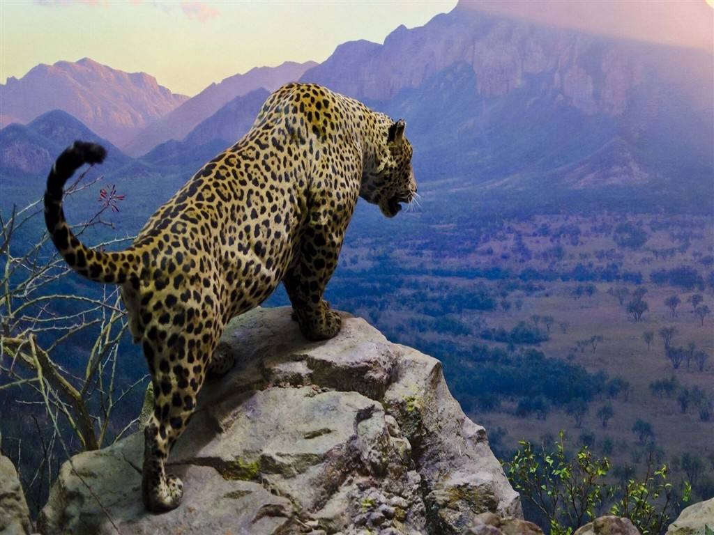 Jaguar sating on top of a mountain free cute awesome