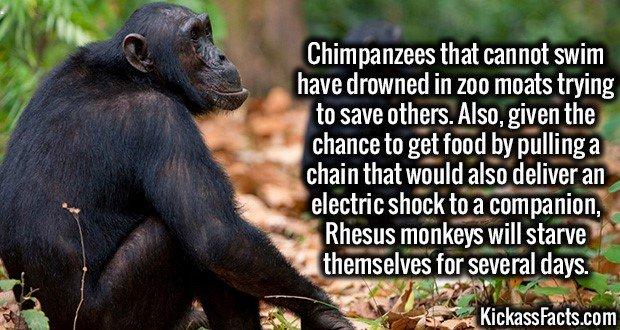 1818 Chimpanzees