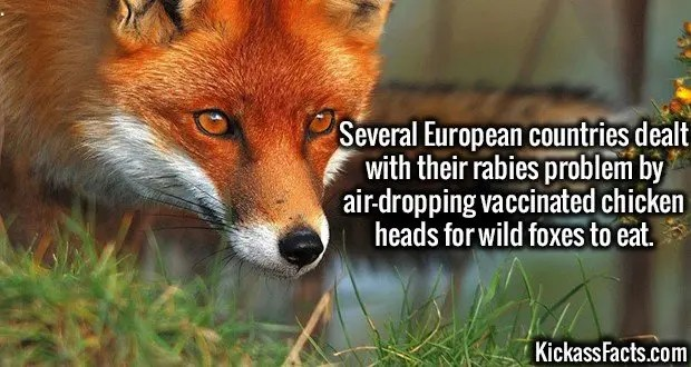3634 Wild Foxes-Several European countries dealt with their rabies problem by air-dropping vaccinated chicken heads for wild foxes to eat.