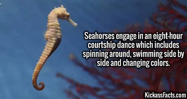 3740 Seahorses-Seahorses engage in an eight-hour courtship dance which includes spinning around, swimming side by side and changing colors.