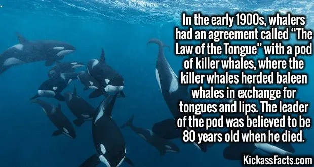 """4116 The Law of the Tongue-In the early 1900s, whalers had an agreement called """"The Law of the Tongue"""" with a pod of killer whales, where the killer whales herded baleen whales in exchange for tongues and lips. The leader of the pod was believed to be 80 years old when he died."""