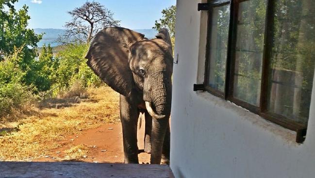 ben-elephant-waiting-near-lodge