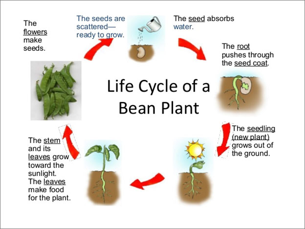 essay about plant life cycle