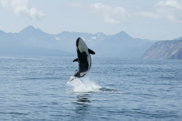 Hd Great White Shark Wallpaper Killer Whale Calf Making High Jump Out Of The Water