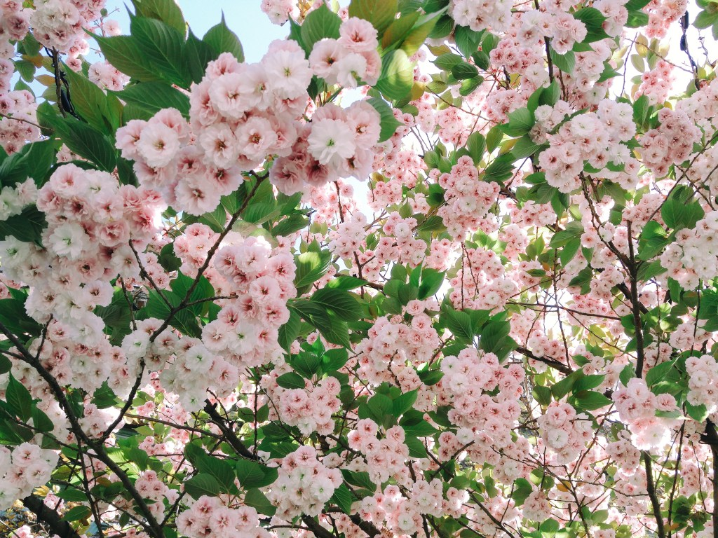 Blossoms in Vancouver