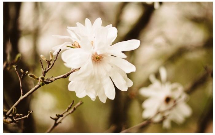 magnolia blossum