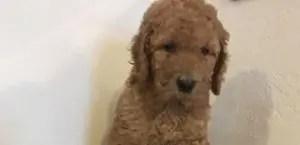 Goldendoodle Golden Retriever Puppies For Sale In Ohio