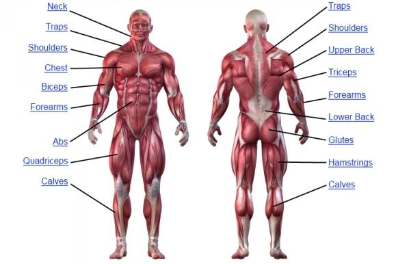 Muscle Anatomy - Human Anatomy Chart