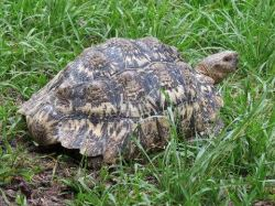 Easily seen in the open, it takes only a few blades of grass to disrupt the outline of many tortoise species.