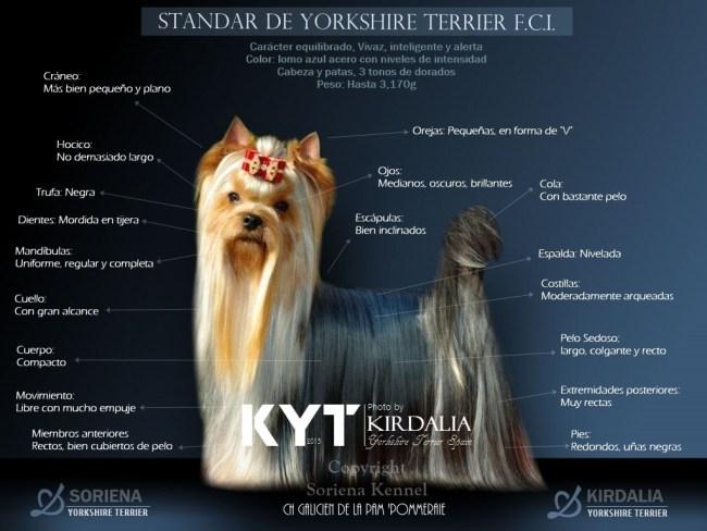 Estandar-del-Yorkshire-Terrier-F.C.I.