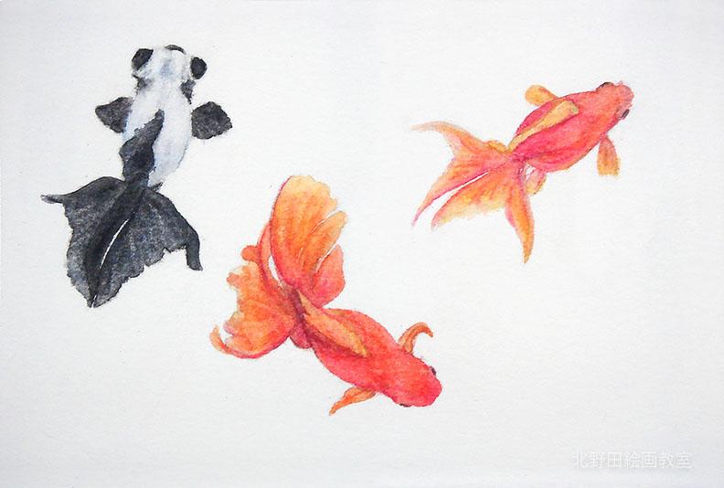 水彩色鉛筆の描き方(金魚)5
