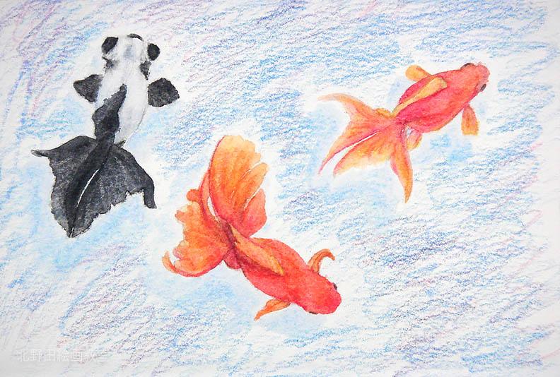 水彩色鉛筆の描き方(金魚)8