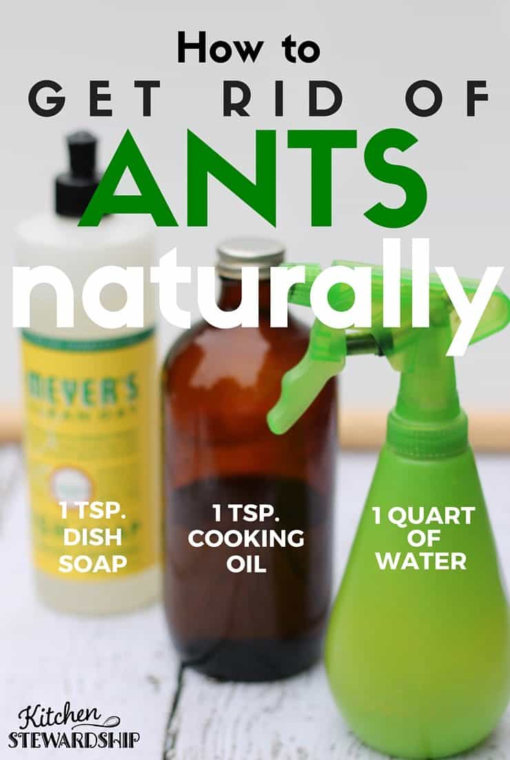Little black sugar ants in your house kill them with a homemade ant trap or
