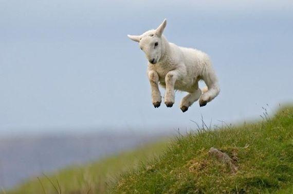 imagenes de corderos saltando