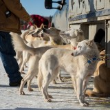 Sled dogs, ready to go
