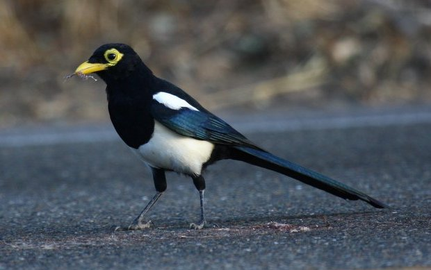 Yellow-billed Magpie by Chris West.