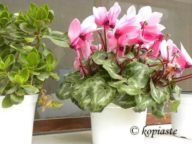Anafiotika flowers 2