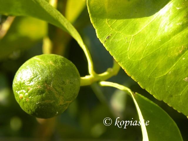 Nerantzi Seville Orange