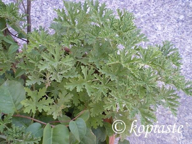 Arbaroriza - Fragrant geranium2