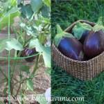 Egg plant – Brinjal Peanut Masala Recipe | Vazhuthananga Peanut-Groundnut Masala Recipe