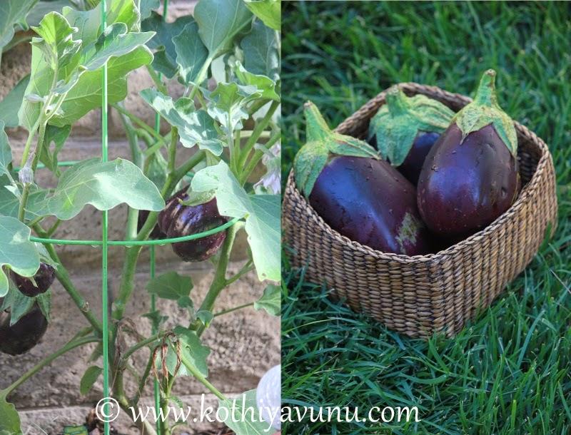 Eggplant -Brinjal Peanut Masala  kothiyavunu.com