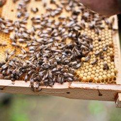 Bienen, Waben, Drohnen