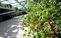 Peruanischer Sauerklee (Oca) (Pflanze) | S-Einzelsorten ...