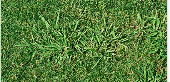Dallisgrass Infestation in Hopkins County by Mario Villarino DVM, Ph.D.