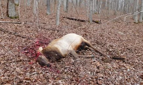 Reward at $4,445.00:  Missouri Department of Conservation searches for vehicle in Elk poaching case