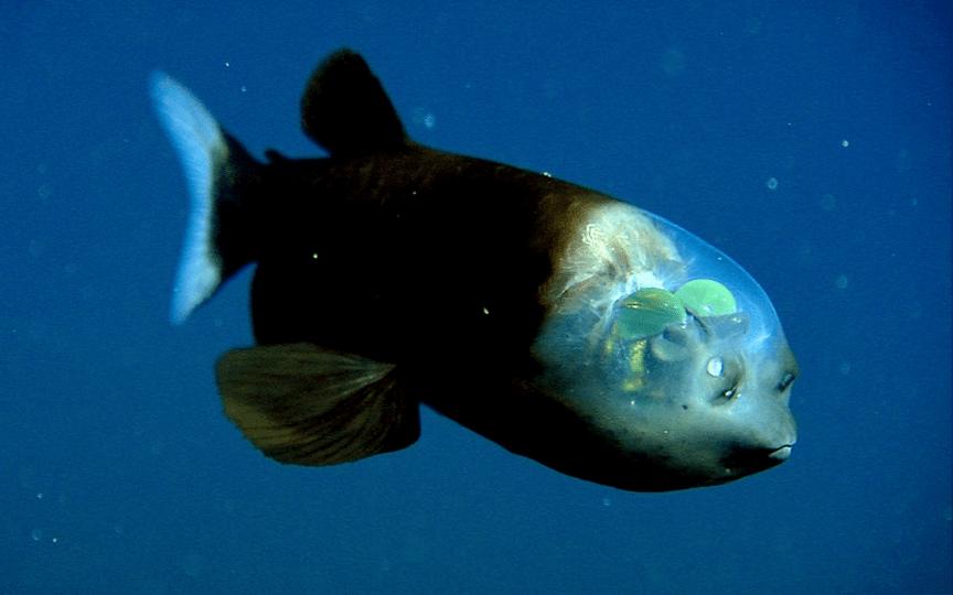 barreleye