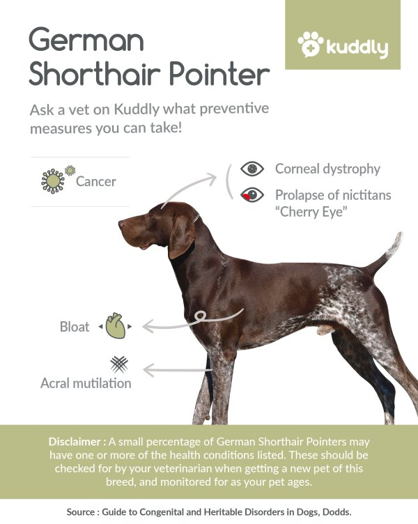 Kuddly_German shorthair pointer