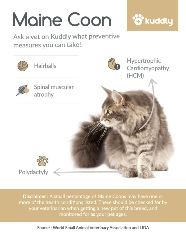 Kuddly _Maine Coon