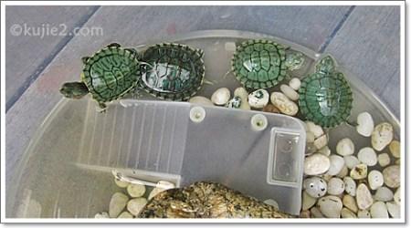 cara menjaga kura kura kecil