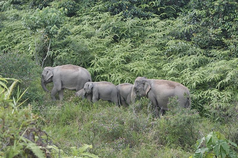 gajah liar terengganu