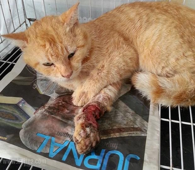 rawat kucing cedera