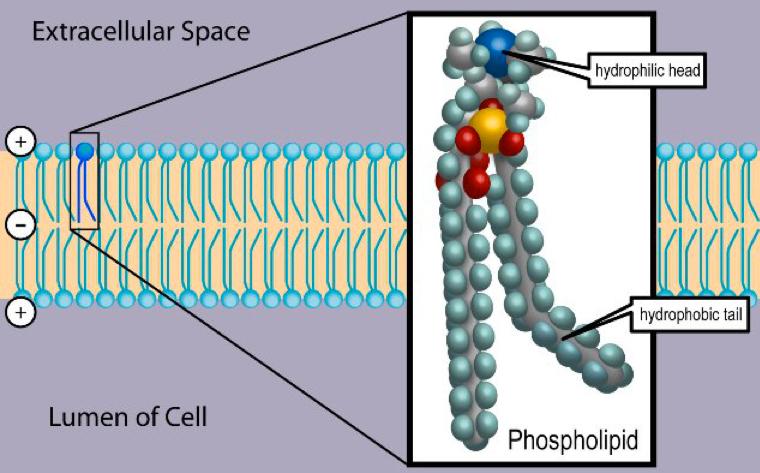 phospholipid structure