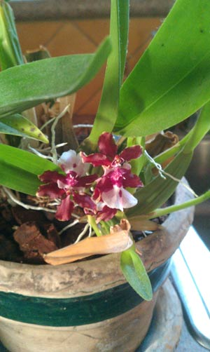 orchid-mayim