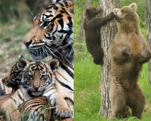 tiger-bear-moms-300×240