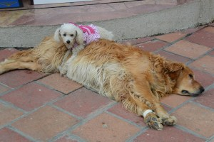 Poodle using a Golden as a pillow