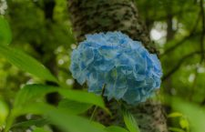 Magical sky blue Hydrangea flowers (ajisai-紫陽花) at the Nukata orchards (ぬかた園地) on Mt.Ikoma, Osaka.