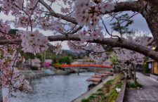Cherry Blossoms along the shores of the Uji River in Uji City, Kyoto, Japan.