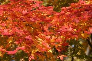 Colorful_Maple_Tree_Leaves_Japan