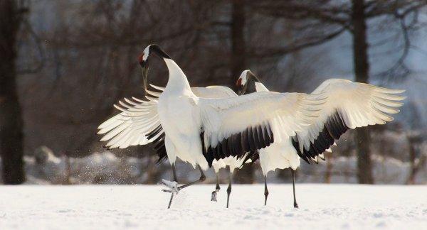 dancing_red_crowned_crane_in_hokkaido
