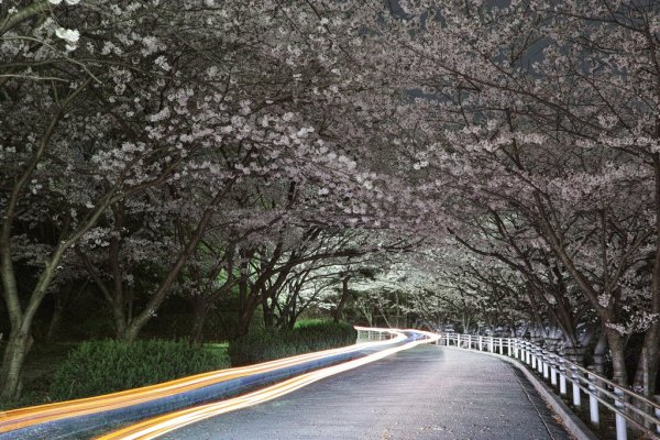 Sakura Tunnel at Night, Japan