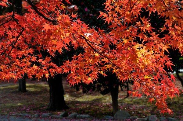 Maple_Leaves_at_Tenryuji_Temple_Kyoto