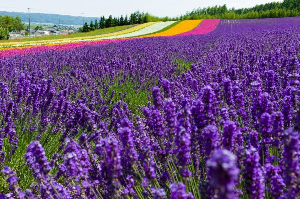 lavender_filed_farm_tomita_furano