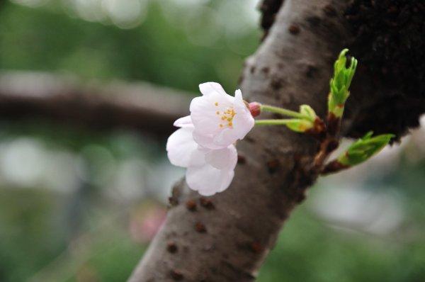 Cherry_Tree_Bark_Japan
