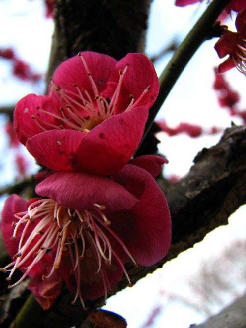 Deep_Red_Plum_Blossom_at_Kitano_Tenmangu_Japan